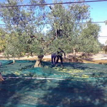 raccolta-olive-frantoio-logoluso